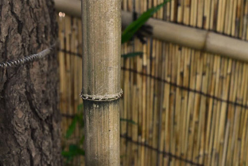 square bamboo in Japan