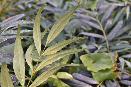 マホニアコンフューサ,植木