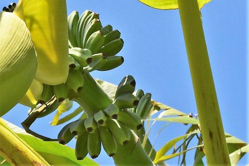 ばしょう,バナナの違い