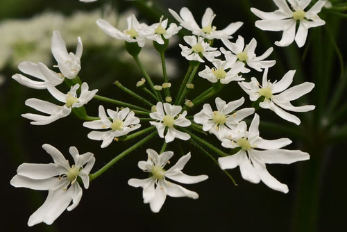 花独活の開花