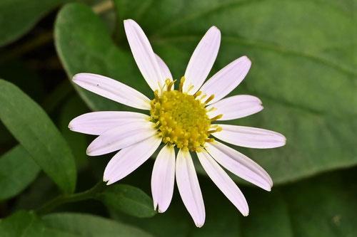 カントウヨメナ,開花時期