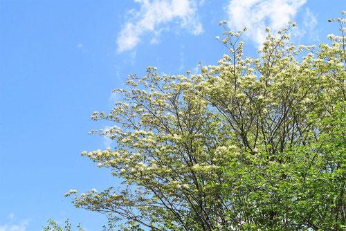 青タモ 植木 花