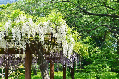white flower,Wisteria floribunda