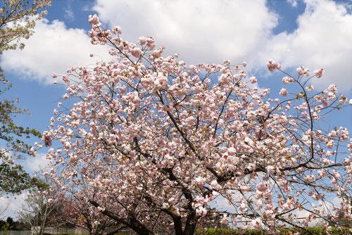 一葉,桜,街路樹