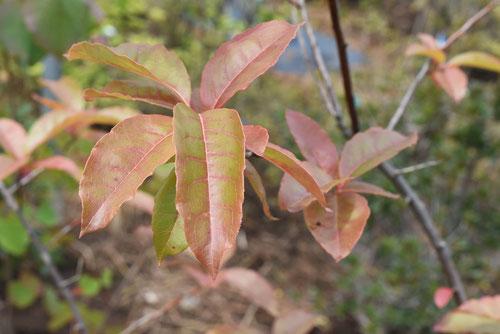オキシデンドロム,葉