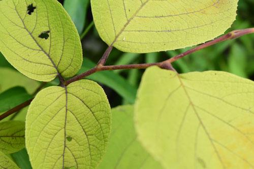白雲木,はくうんぼく,葉っぱ