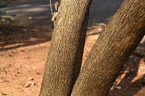 sapphire-berry,tree