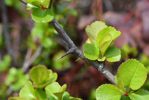 クサボケ 葉っぱ 棘