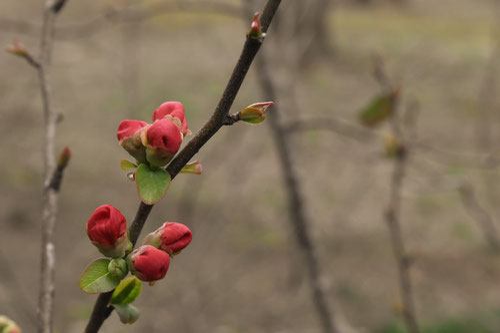 木瓜の木,開花時期