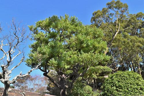 ナギの木,画像