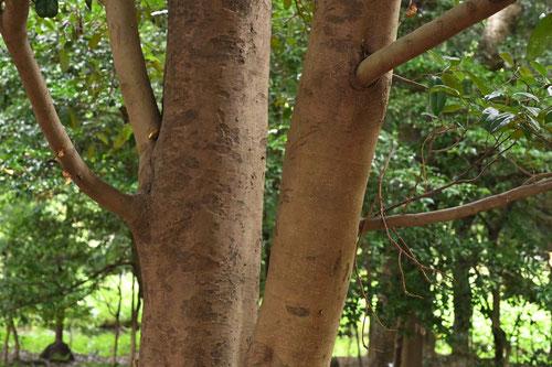 イスノキ,木