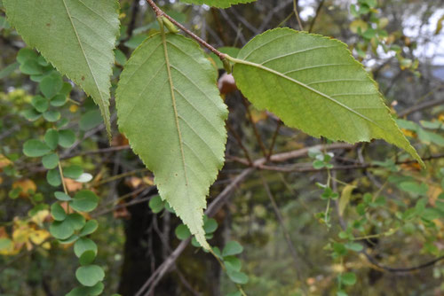 オノオレカンバの木