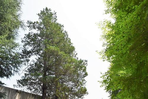 檜葉の種類,日光ヒバ,しのぶひば