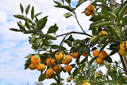 温州蜜柑,ウンシュウミカン