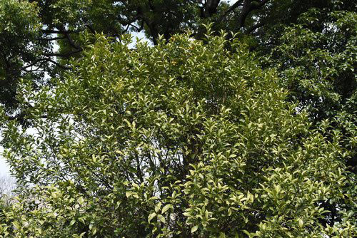 Chinese quince,tree