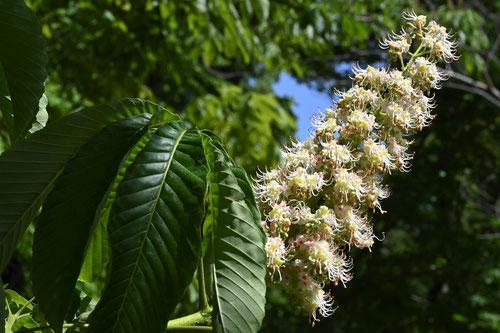 トチノキの花,画像