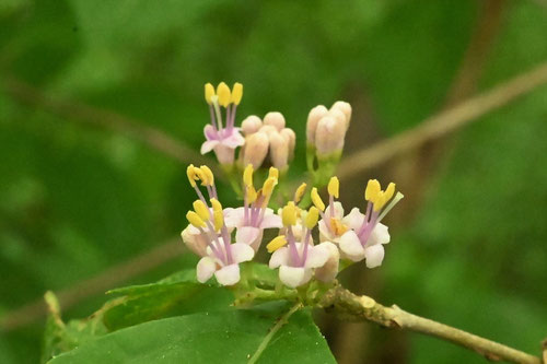 Flower of Japanese beautyberry