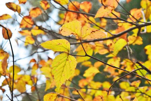 こばのがまずみ,紅葉,黄葉