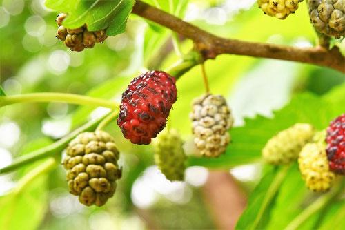 柘の木,果実