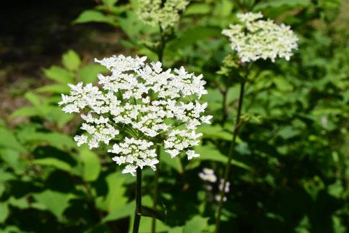hanaudo,flower