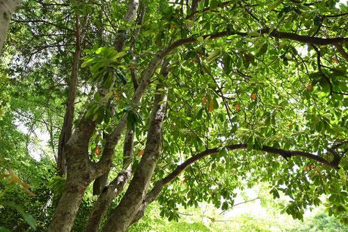 オオカナメの木