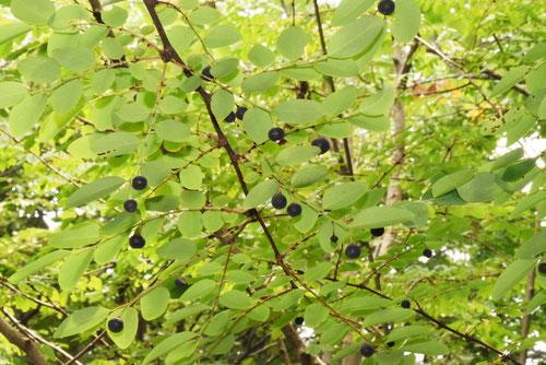 小判の木の実
