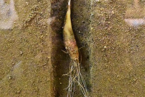 片栗粉の原料