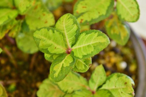 Spearflower