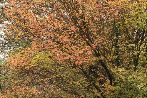 ヤシオツツジの紅葉,やしおつつじ