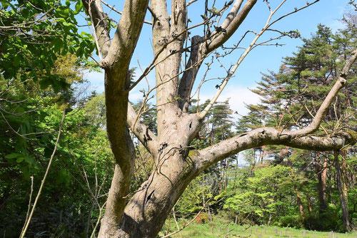 梶の木 幹 画像