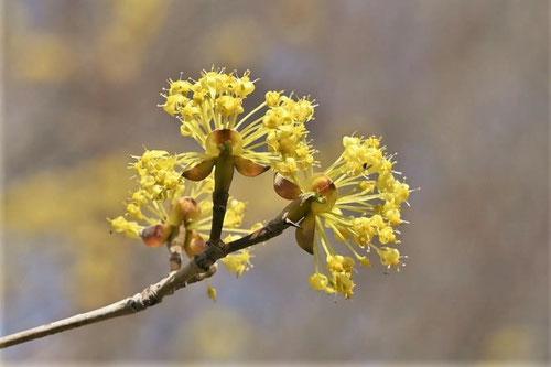 山茱萸の花,はるこがねばな