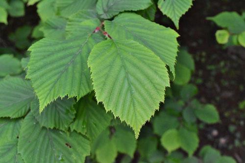 ツノハシバミ,葉っぱ