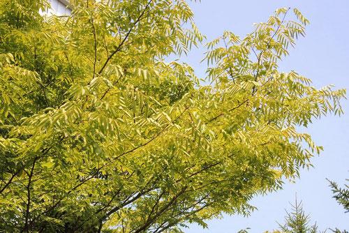 ニガキ 紅葉 黄葉 画像