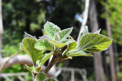 桐の木 新芽