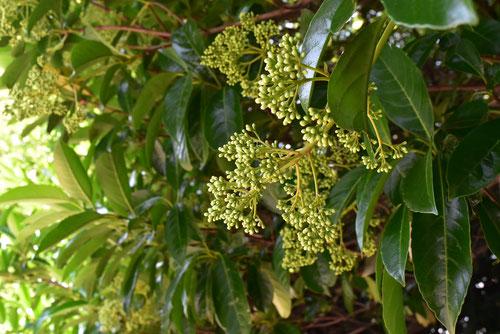 flower of Sweet viburnum