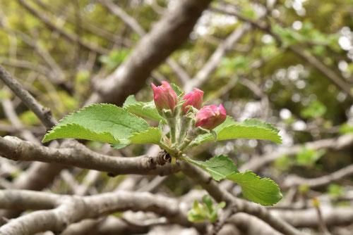 リンゴの花のツボミ