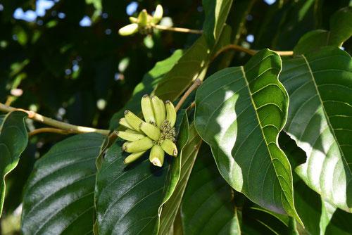 喜樹果 カンレンボク