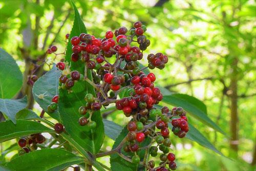 red fruits of elder,picture
