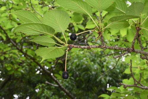 イズヨシノの果実