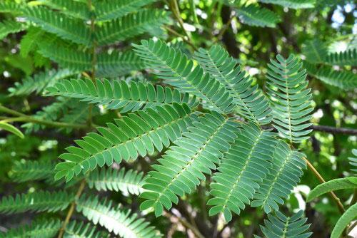 persian silk tree,leaf