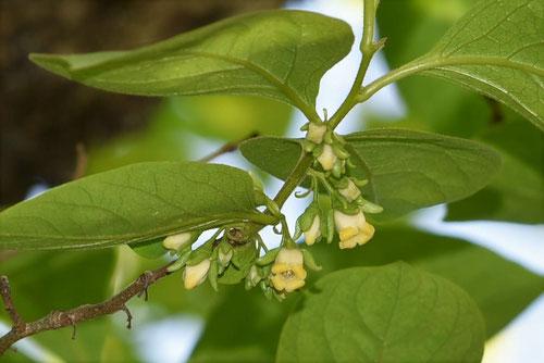 柿の花,雌雄