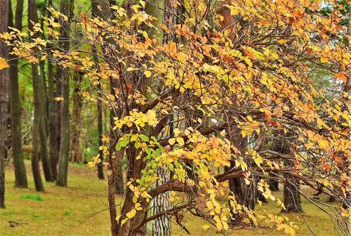 シロヤシオ 紅葉 黄葉
