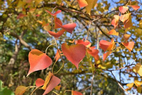 ナンキンハゼ 樹木
