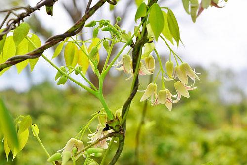 木通に似た葉っぱ,つる