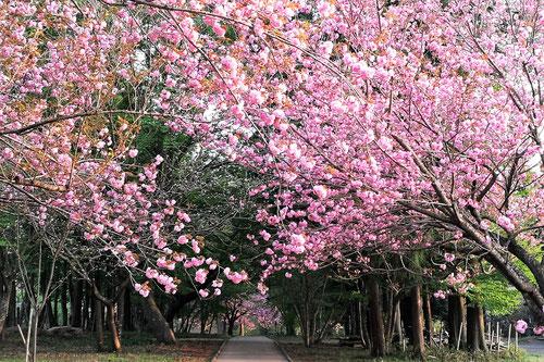 セキヤマ,カンザン,八重桜