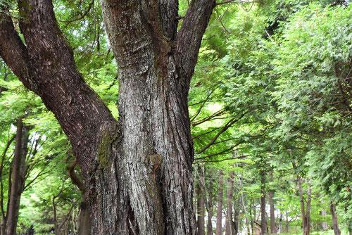 においひば,樹木