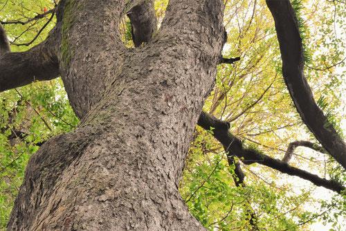榎,えのき,巨木