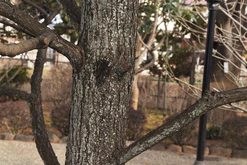 カナダツガの木