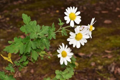 若狭ハマギク,植物