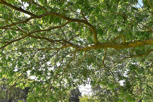 無患子の木,むくろじ,枝の様子